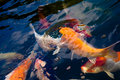 Free Colorful Carp Stock Photography - 6024002
