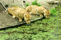 Free Lionesses Drinking Stock Images - 6024574
