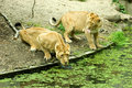 Free Lionesses Drinking Royalty Free Stock Image - 6024596