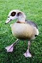 Free A Goose Stock Photos - 6028803