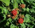 Free Blackberries Shrub Royalty Free Stock Photo - 6029115