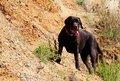 Free Labrador Royalty Free Stock Photos - 6029138