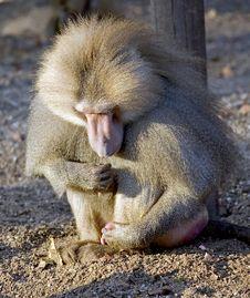 Baboon 14 Stock Image