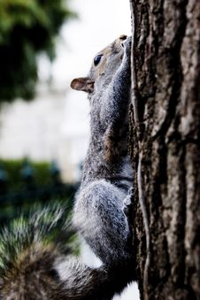 Free Squirrel Royalty Free Stock Photography - 6020317