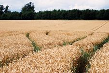 Free Wheat Crop Stock Photography - 6021902