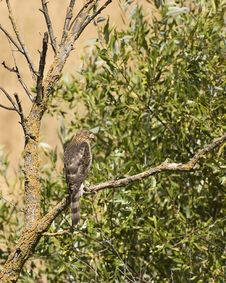 Free Cooper S Hawk(immature) Royalty Free Stock Photos - 6022038
