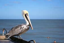 Free Pelican Watches For Fish Stock Photo - 6022430