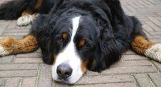 Free Bernese Mountain Dog. Stock Photo - 6022530