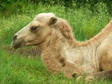 Free The Camel Royalty Free Stock Photos - 6022858