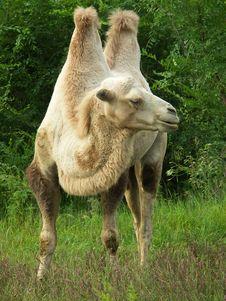 Free The Camel Stock Photos - 6022873