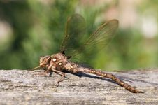 Free Dragonfly On Fence Royalty Free Stock Image - 6022886
