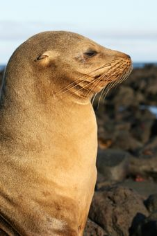 Free Sea Lion In Profile Royalty Free Stock Photos - 6023048