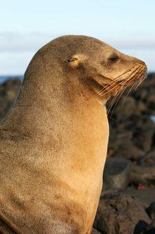 Free Beautiful Sea Lion Stock Photos - 6023053