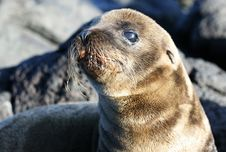 Young Sea Lion Royalty Free Stock Photography