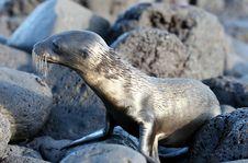 Free Wet Sea Lion Pup Stock Photos - 6023063