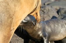 Free Nursing Sea Lion Stock Photo - 6023070
