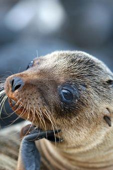 Free Sea Lion Close Up Stock Photography - 6023132