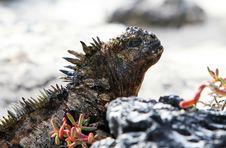 Free Galapagos Marine Iguana Royalty Free Stock Image - 6023136