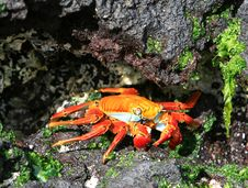Free Colorful Sally Lightfoot Crab Stock Images - 6023144