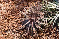 Free Echeveria Mucronate Royalty Free Stock Photography - 6024047