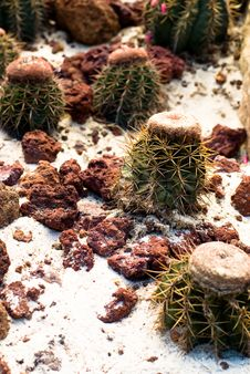Free Barrel Cactus Royalty Free Stock Photos - 6024048