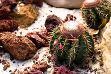 Barrel Cactus Stock Images