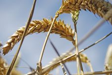 Free Grain With Blue Sky Stock Photos - 6025253