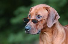 Free Rhodesian Ridgeback Royalty Free Stock Photos - 6025558