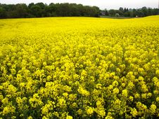 Free Field Of Rapeseed Royalty Free Stock Photos - 6025988