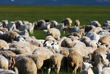 Free Sheep On Nailin Gol Royalty Free Stock Images - 6026159