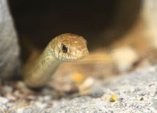 Free Snake Royalty Free Stock Photo - 6026305