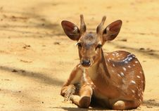 Free Spotted Deer Royalty Free Stock Photos - 6026368