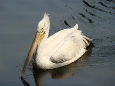 Free Pelicans Royalty Free Stock Photo - 6026375