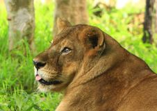 Free Lioness Royalty Free Stock Photos - 6026388