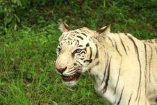 Free Tiger Stock Photo - 6026410