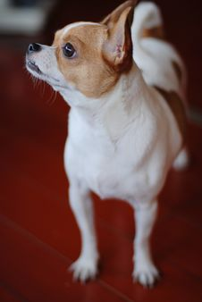 Free Chihuahua Dog Royalty Free Stock Images - 6026479