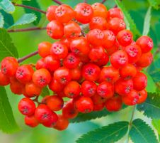 Wild Berrys Stock Photography