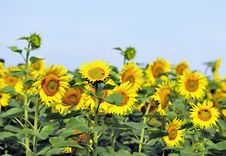 Free Sunflowers Stock Image - 6026721