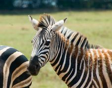 Free Zebra Stock Photography - 6026742