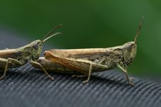Free Grasshoppers Royalty Free Stock Image - 6026966