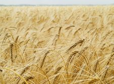 Free Wheat Background Royalty Free Stock Photos - 6028068
