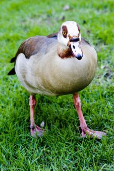 A Goose Royalty Free Stock Photo