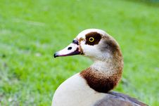 Free A Goose Stock Images - 6028764