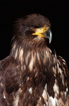 Free Eagle Stock Photo - 6029460
