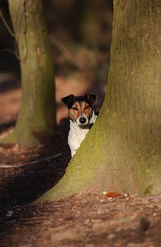 Free Jack Russel Royalty Free Stock Photos - 6029498