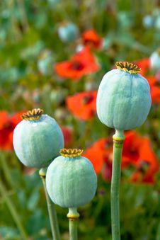 Free Three Poppies Royalty Free Stock Image - 6029806