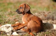 Free Rhodesian Ridgeback Puppy Royalty Free Stock Photography - 6029887