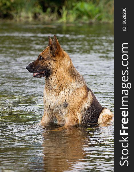 Germany sheep-dog