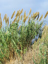 Free Beach Grasses, Israel Stock Image - 60254171