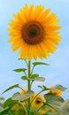 Free Beauty Sunflower On Sky Background Stock Image - 6031991